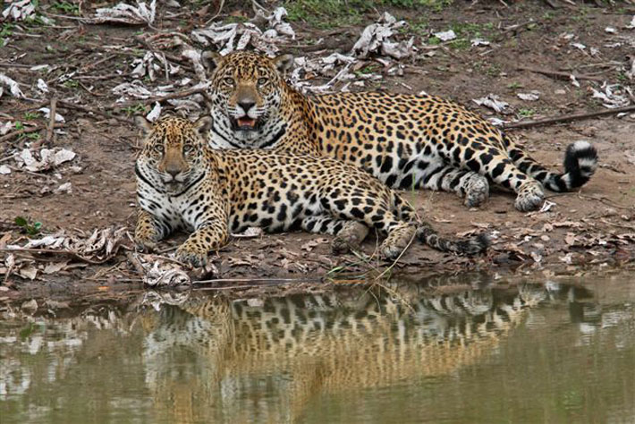 Female jaguar and cub seen in the daytime