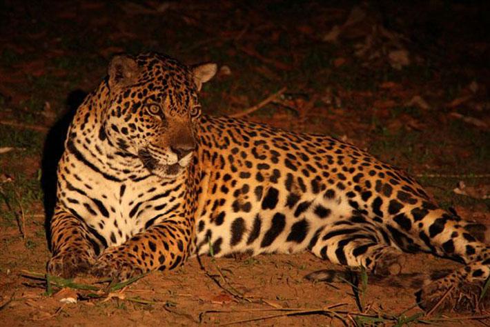 Beautiful female Jaguar