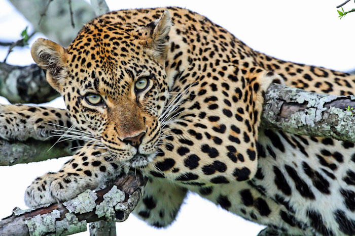 The Tamboti female leopard