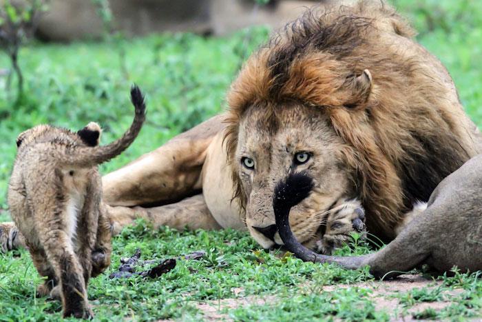 Majingilane and cub