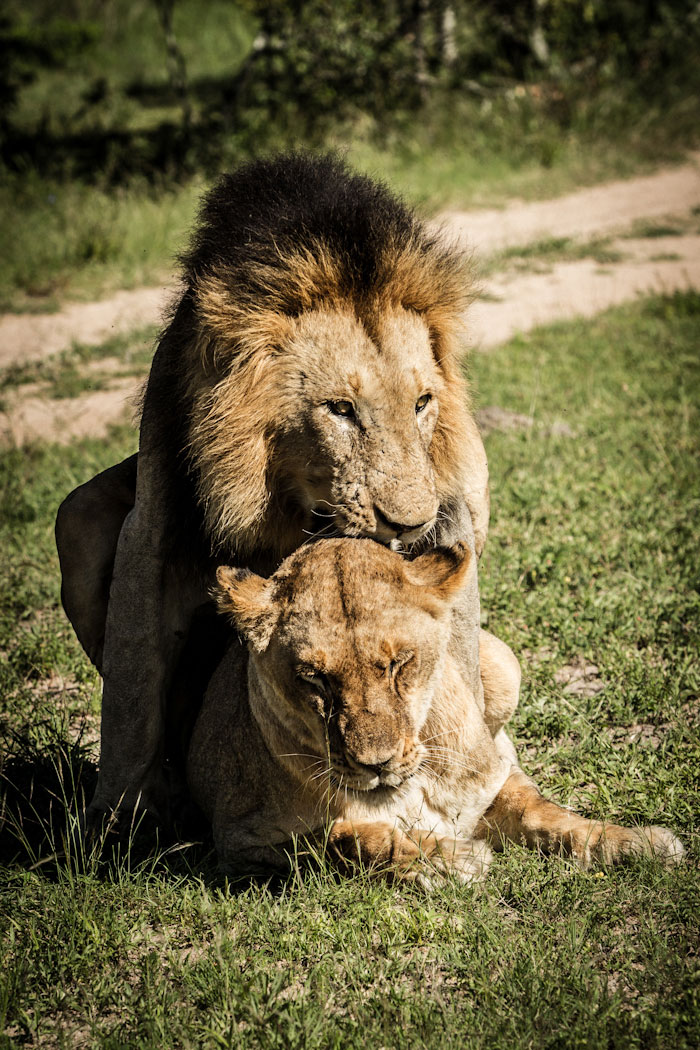 Mating pair of lions