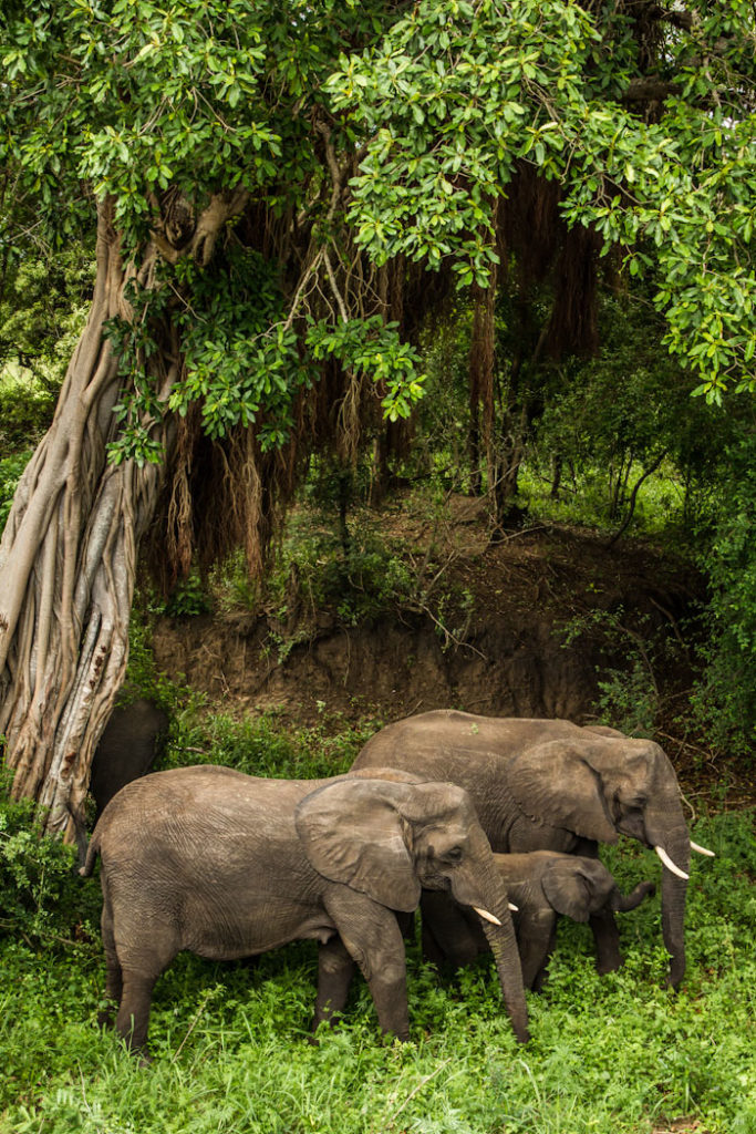 Elephants and fig tree