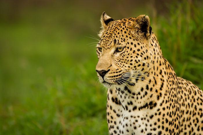 Maxabene 3:3 male hunting warthog 3