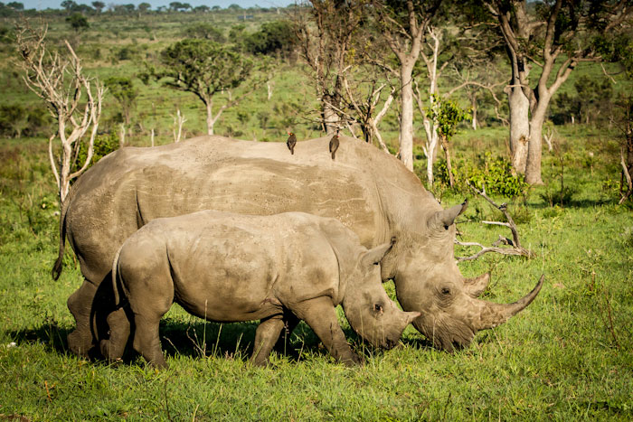Rhino cow and calf