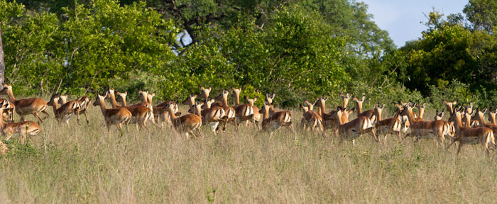 The one thing that I love about the bushveld is the sheer abundance of the impala. They look so healthy, energetic and alive!