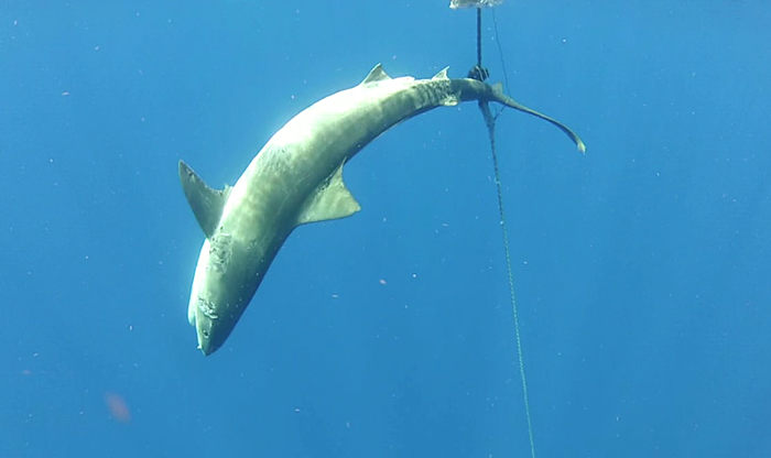 Neil had setup a mooring the night prior only to discover that a large Tiger Shark had caught itself up in the wires connecting the buoy to the anchor.