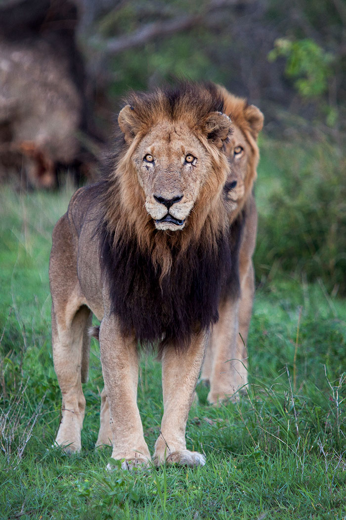 They may well be 'over the hill', but they are still incredible male lions. Huge specimens and a tribute to the strength and resilience required to survive for such a long time- Adam Bannister