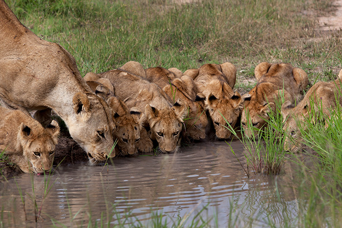 Priceless - The seven cubs and one lioness all huddled up and  drinking at the same time.