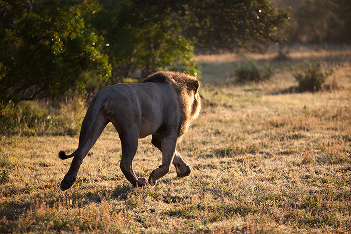 The early morning soft light makes this male lions movements all that more dramatic.