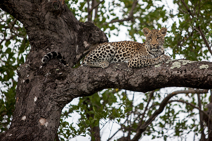 The Ximpalapala 3:4 Young Female takes a break from the heat. The long grass and the high temperatures has meant that the leopards spend increasing amount of time in the trees.