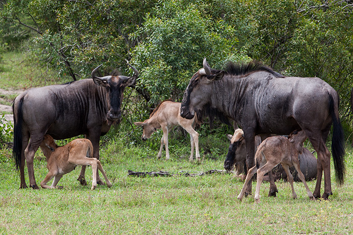 This is the best month of the year to spend time with the various wildebeest herds at Londolozi. Little ones are so cute