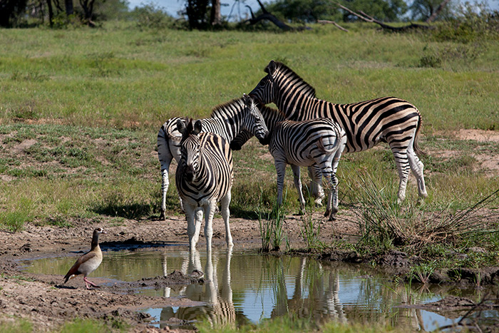 A dazzle of Zebra gathers at a watering hole during the mid day heat