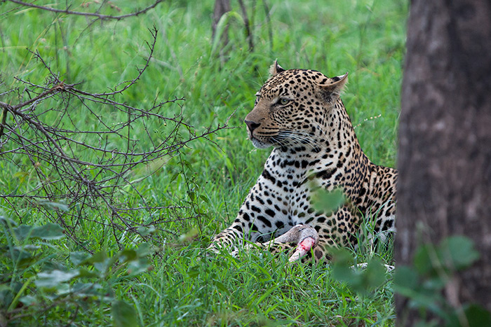 One of the new male leopards we have started seeing in the southern regions of Londolozi