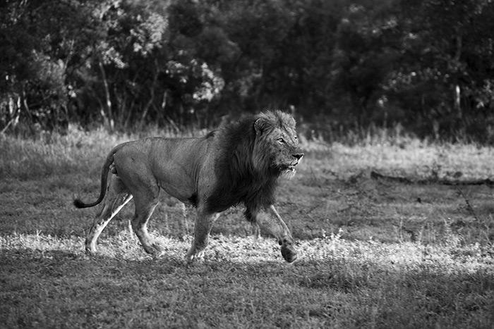 Golden Mane Majingilane Male running through the short grass