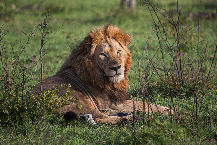 The thick mane of the Tsalala Young Male