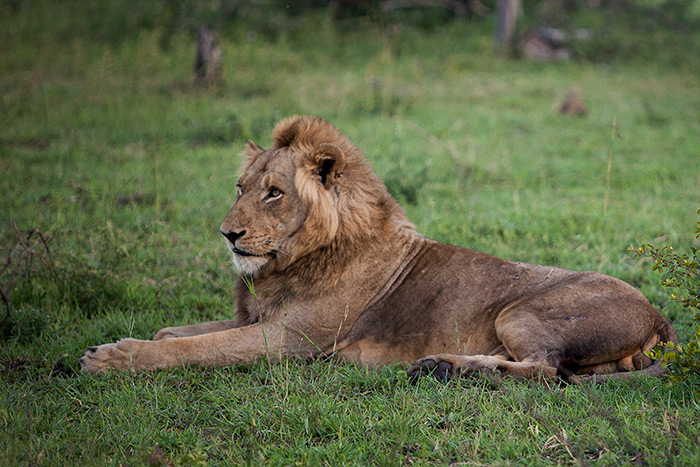 The Sparta Male is identified by his short mane and heavily scarred back