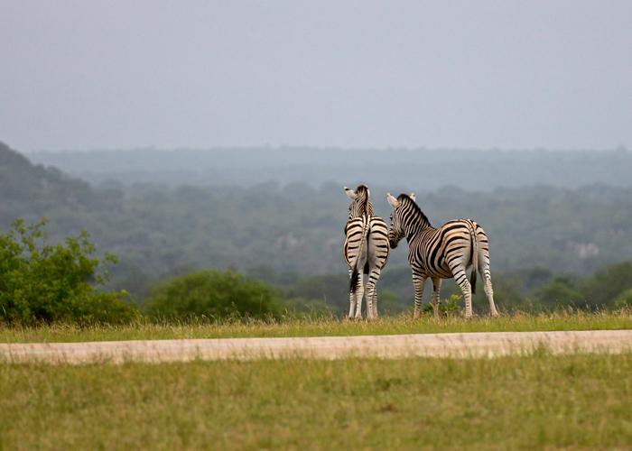 Curious Zebras overlooking Sparta