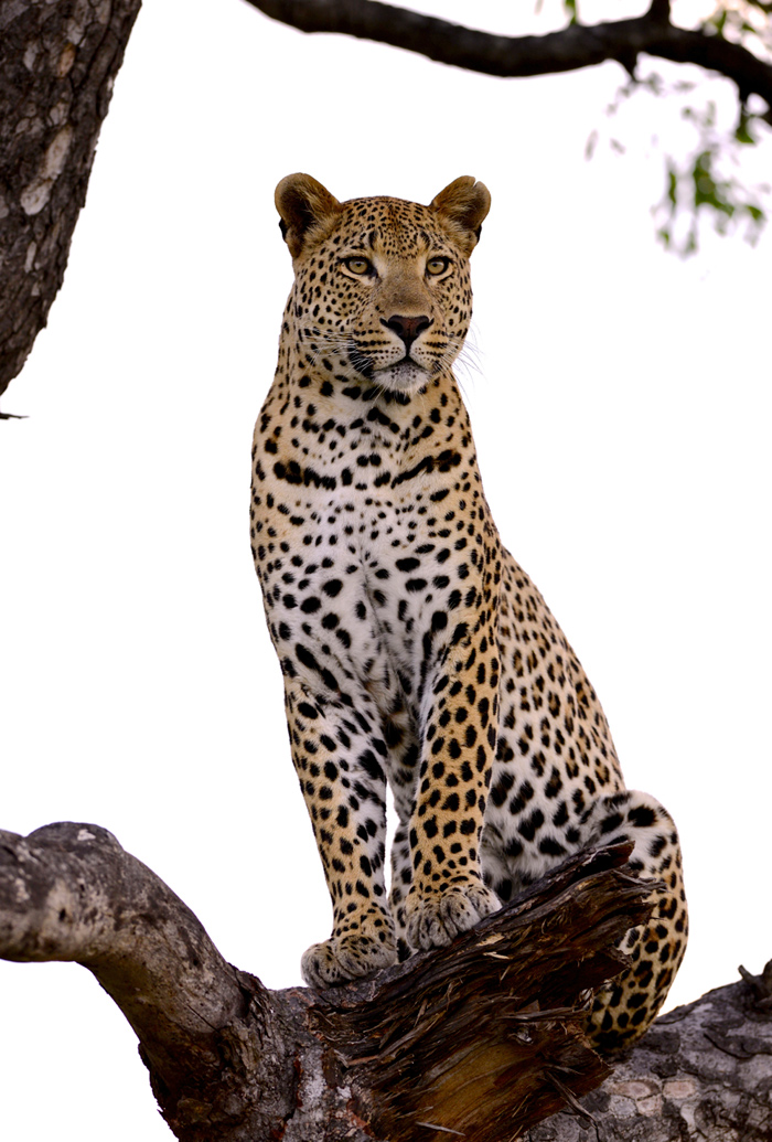 The Maxabeni 3:3 Young Male