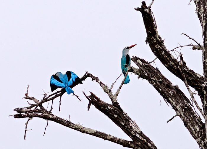 A Pair of Woodland Kingfishers
