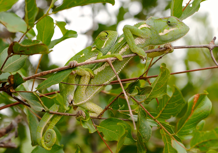 A Pari of Mating Chameleons