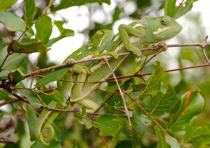A Pari of Mating Chameleons