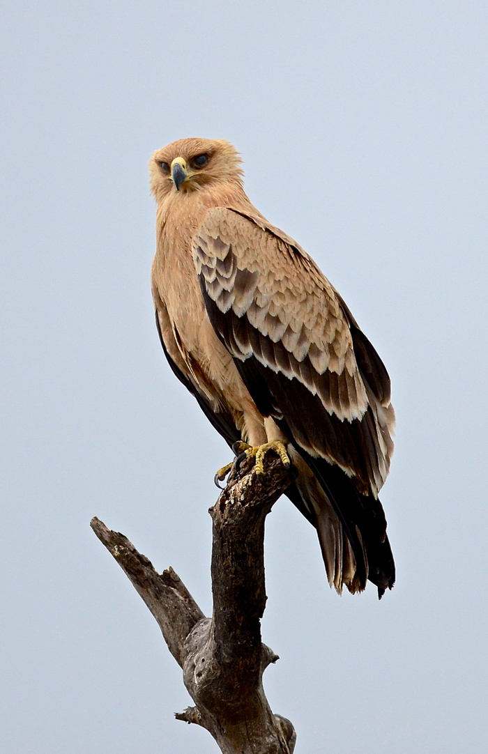 Wahlberg's Eagle Perched on Branch