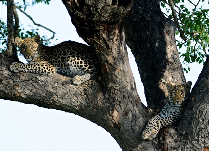 Two Ximpalapala Leopard Cubs