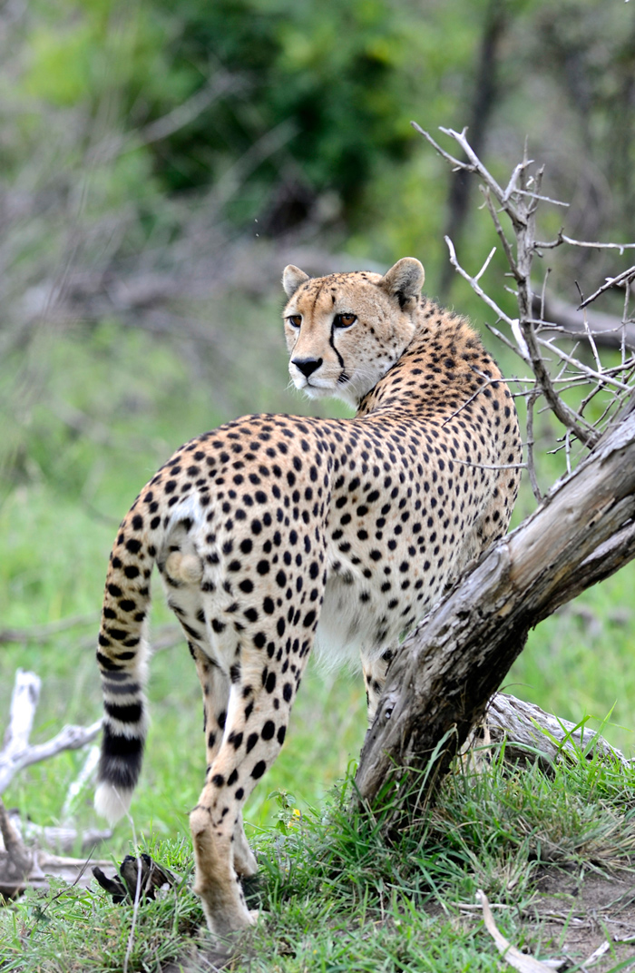The Male Cheetah frequenting Londolozi