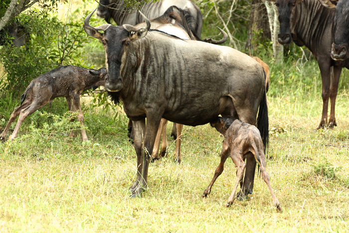 Struggling to its feet, the wildebeest calf makes a beeline for its mother's milk - Lucien Beaumont