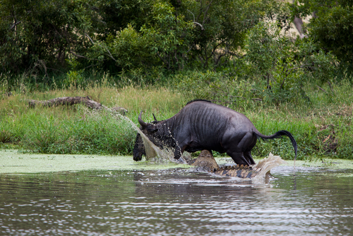The wildebeest tries to break out of the water - Adam Bannister