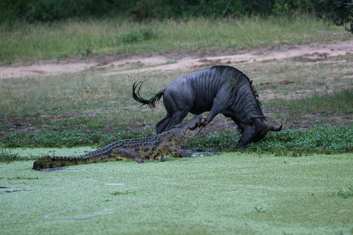Wildebeest pulls away from crocodile Adam Bannister