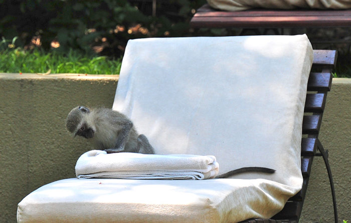 Vervet-monkey-pool-lounge-chair