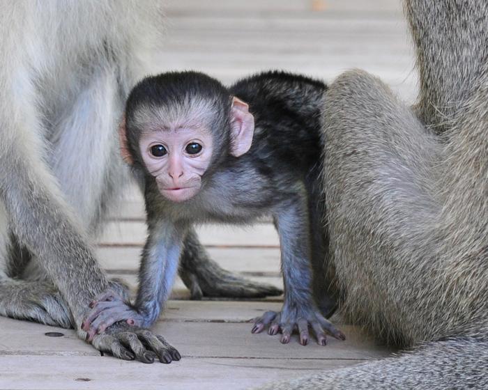 vervet-monkey-londolozi-africa