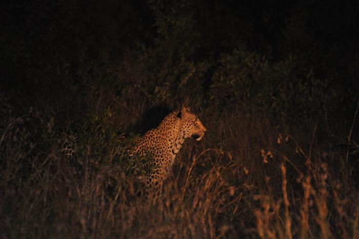 Tutlawa-shy-male--leopard-londolozi