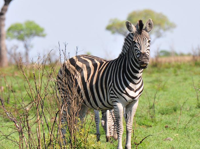 Smiling-zebra-londolozi