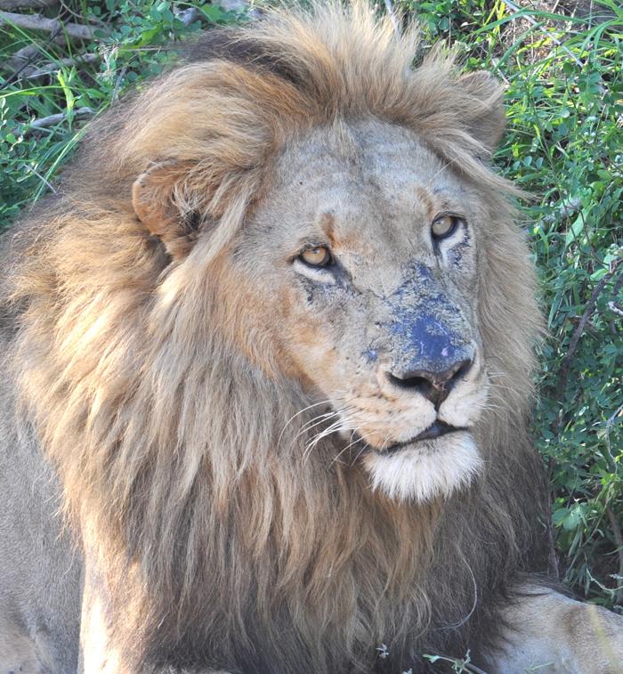 Male-lion-londolozi