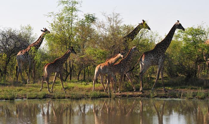 londoz-giraffe-2