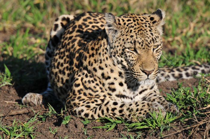 Leopard-South-Africa-SAdfari-Londolozi
