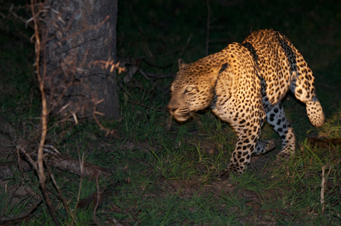 Leopard-Night-drive-Londolozi-Safari