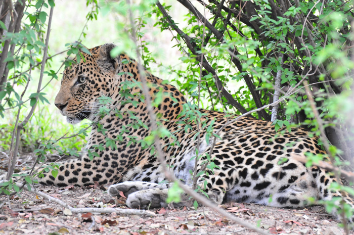Leopard-londolozi-Dudley-River-bank-female