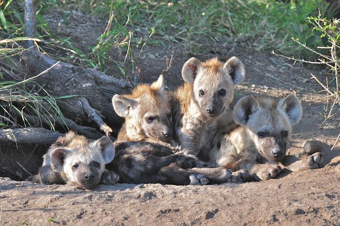 hyena-pups-africa-londolozi