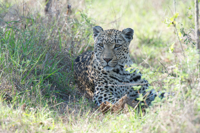 Dudley-Riverbank--Female--leopard--Londolozi-copy