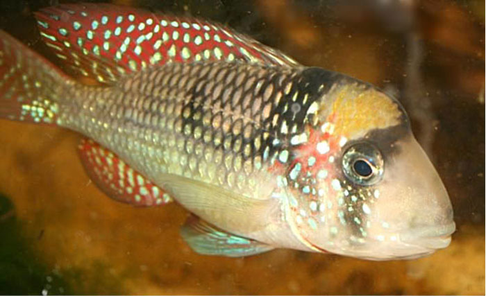 A species of cichlid found in southern Brazil - Google Images