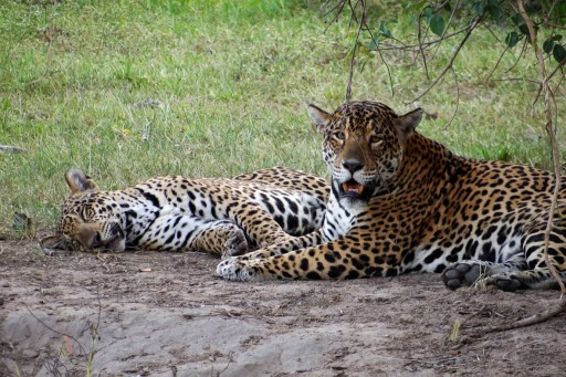 Jaguar cub sleeping.