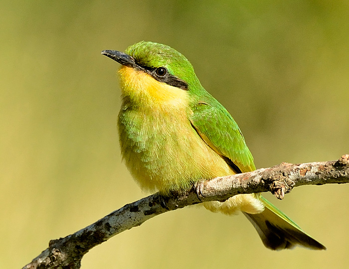 The smallest, and for some most beautiful, bee-eater is the aptly names Little Bee-Eater. Unlike it's European cousin, it is resident all year round at Londolozi. (Chris Kane-Berman, f8, ISO 640, 1/1250 sec)