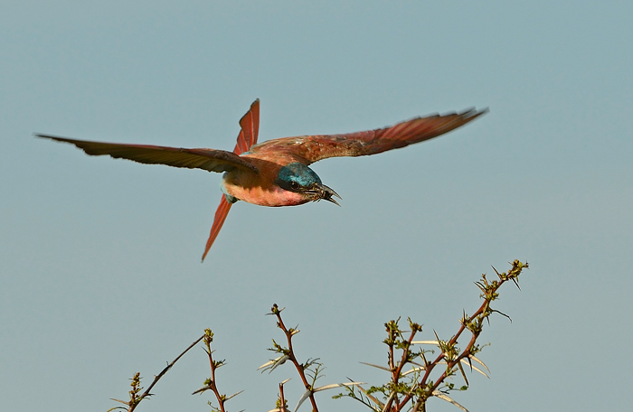 General Manager Stoff Kane-Bermann took this shot of a Carmine Bee-Eater that has just caught a meal. It illustrates the importance of the tail in being able to make tight turns or remain stable in strong wind-here it is turned almost vertical. (f8, ISO250, 1/800 sec)