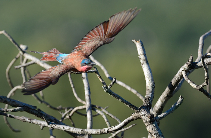 """A Carmine Bee-Eater sets of  in search of prey. Insectivorous birds will often """"hawk""""-whereby they set off from, and return to, the same perch time and again in search of food."""