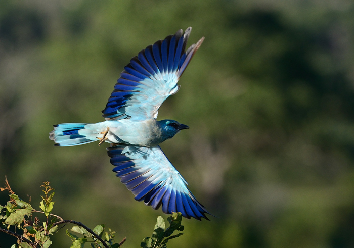 Another bird to join the party was a European Roller. These birds migrate to Europe and Northern Africa during the Southern Hemisphere winter, with Spain, Morocco and even Poland being popular destinations