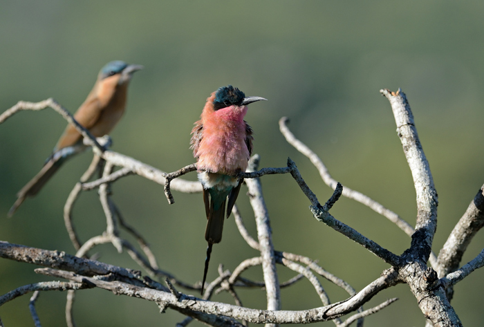 Here two Carmine Bee-Eaters illustrate the changing phases of plumage-from juvenile at the back, to sub-adult in the foreground