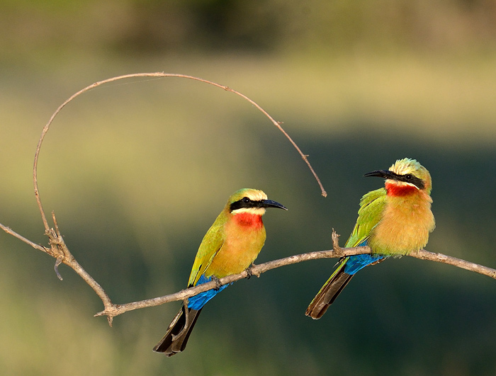 Two beautifully colored White-Fronted Bee-Eaters sit on an open perch, keeping a lookout for any flying morsels (f8,ISO800, 1/1000 sec)